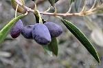 #greek #olives #flora #greece #plants #trees #groves    Kalamata Olives the black pearl of Greek olives    photo via : Rachael.Barrett  http://www.flickr.com/photos/29190834@N06/5764701728/