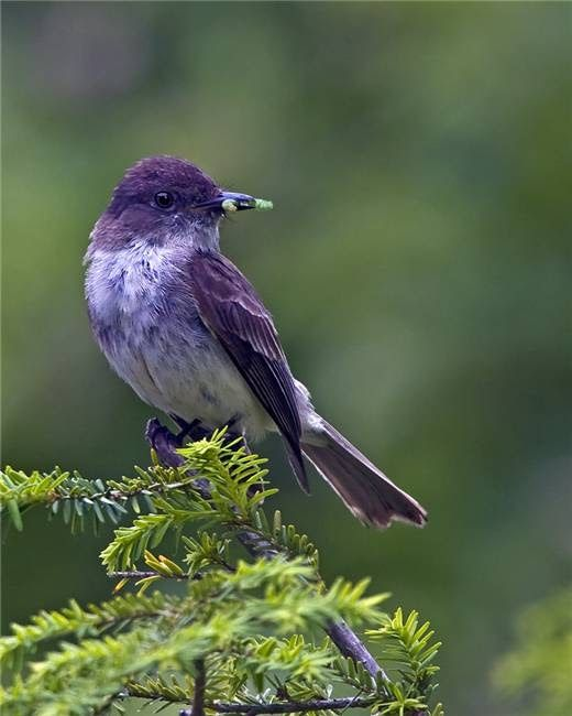 ~~Eastern Phoebe-Sayornis phoebe, a flycatcher~~