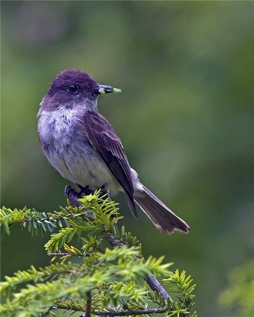 ~~Purple Martin ~ largest North American swallow~~