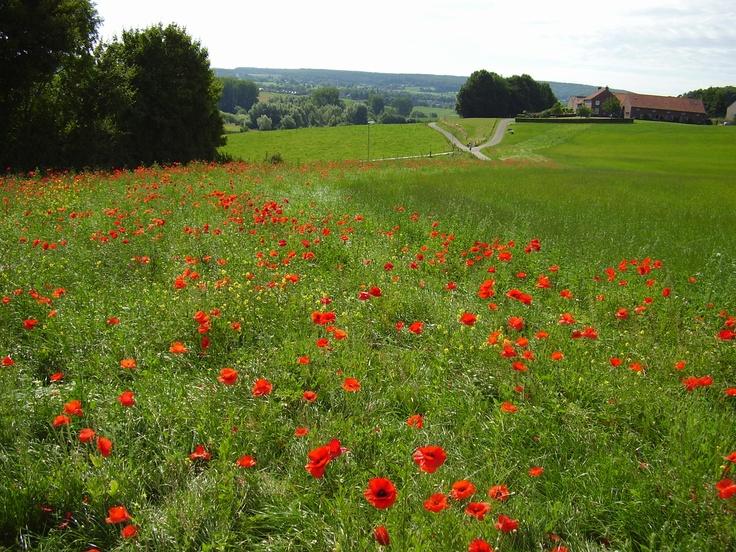 Epen, Zuid Limburg. klaprozen in de zomer!