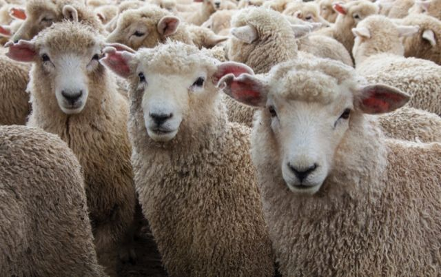 Romney Sheep - a UK breed with wool that is excellent for knitting, felting and dying