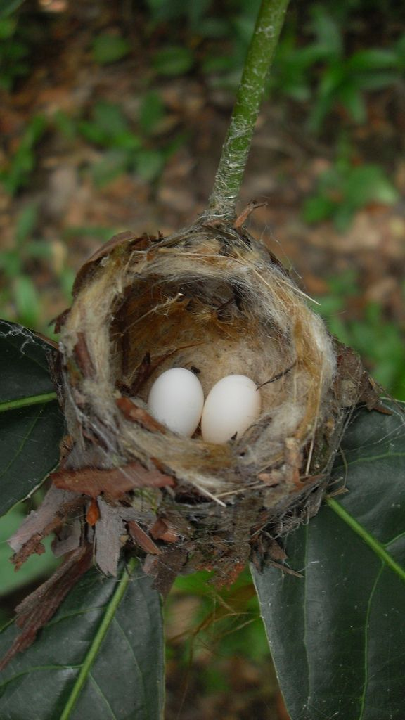 Hummingbird Nest. The eggs are the size of tic tacs, the nest the size of half of a walnut shell.