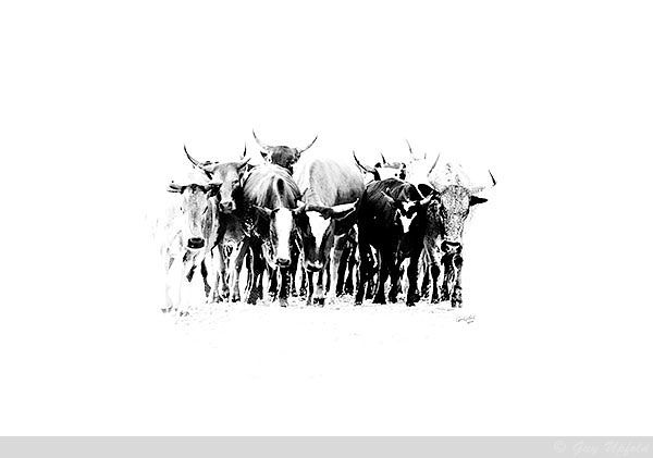 Nguni Cattle abstract2