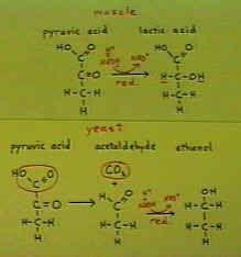 Annotated equations for both muscle conversion of pyruvic acid to lactic acid and yeast converion of pyruvic acid to ethanol. [67030.jpg]