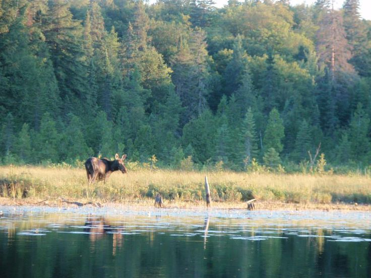 Moose in the Madawaska River, Cache lake Photo by Glenna Clifton