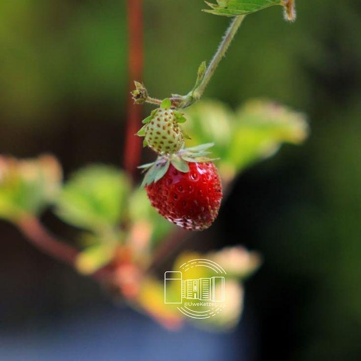 Garden Impressions Hanging Strawberries Strawberries Gartenimpressio G Strawberry Garden Hanging