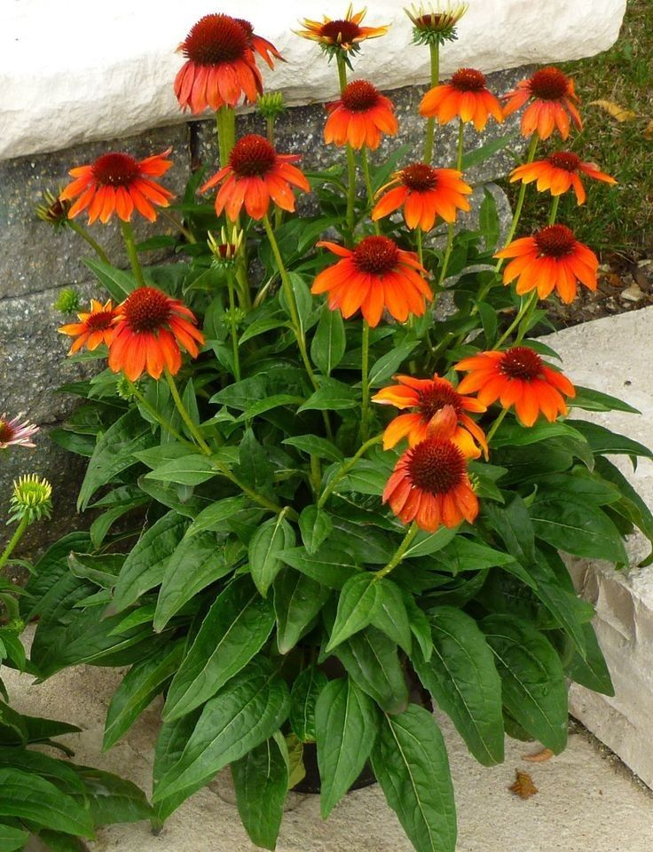 Pin Von Coschi Auf A Cottage Our Life In Orange Bluhende Pflanzen Orange Blumen Mehrjahrige Pflanzen