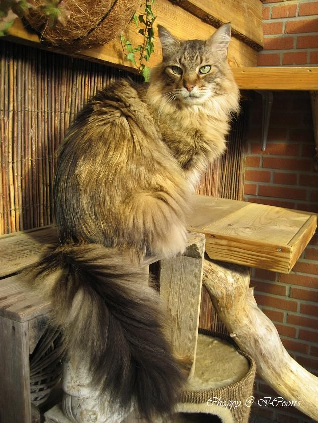 Maine Coon, black tabby blotched (n 22). NL* Sunny Surprises Ki'Ushapo. Photo by #Elliekruithof