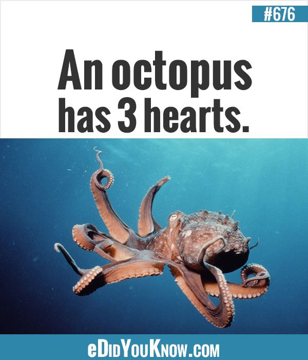 An octopus has 3 hearts.  ► More: eDidYouKnow.com