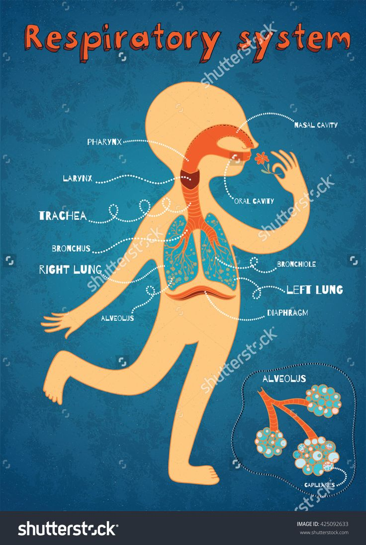Human Respiratory System For Kids. Vector Color Cartoon Illustration. Human Anatomy - 425092633 : Shutterstock