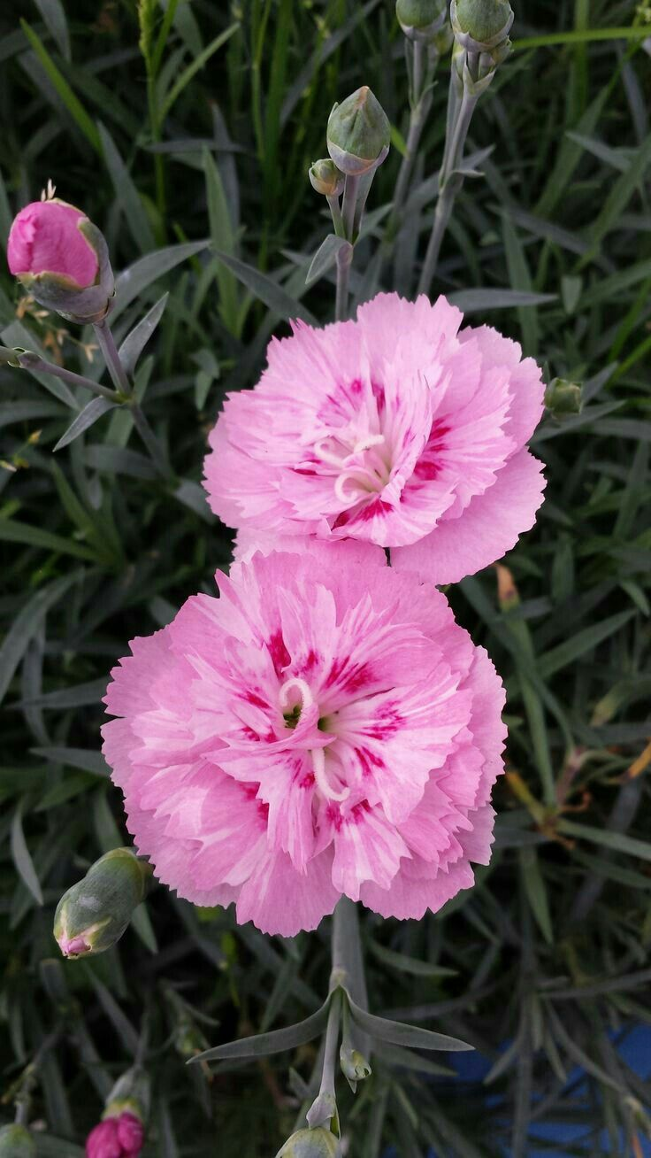 Carnations Dianthus Caryophyllus Carnation Flower Dianthus Flowers Beautiful Pink Flowers