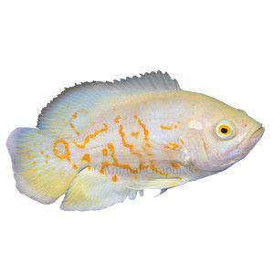 Albino tiger oscar cichlid petsmart fish for my fish for Petsmart com fish
