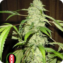 Bubble Gum - strain - Serious Seeds | Cannapedia