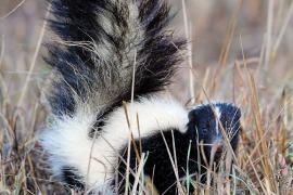 Striped Skunk: The striped skunk is common throughout Missouri. It is easily recognizable by its black color, long-haired tail and two white stripes along its upper sides, converging at its head. | Missouri Conservationist