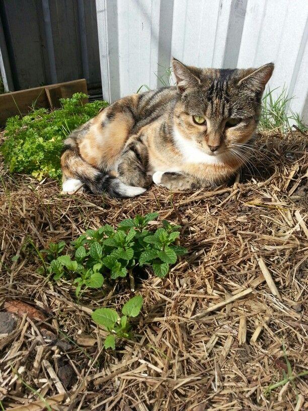 Cat Mint ..... get it!?