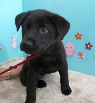 This Dog Danielle Is A Husky Lab Mix She Is 2 Months Old And Up For