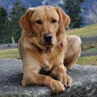 #dogalize Cura del cane Labrador: la toelettatura e il bagno #dogs #cats #pets