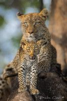 6. Inquisitive, Brendon Cremer. Machaba Camp, Botswana.