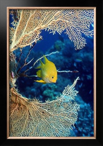 Golden Damselfish Photographic Print by Georgette Douwma at AllPosters.com