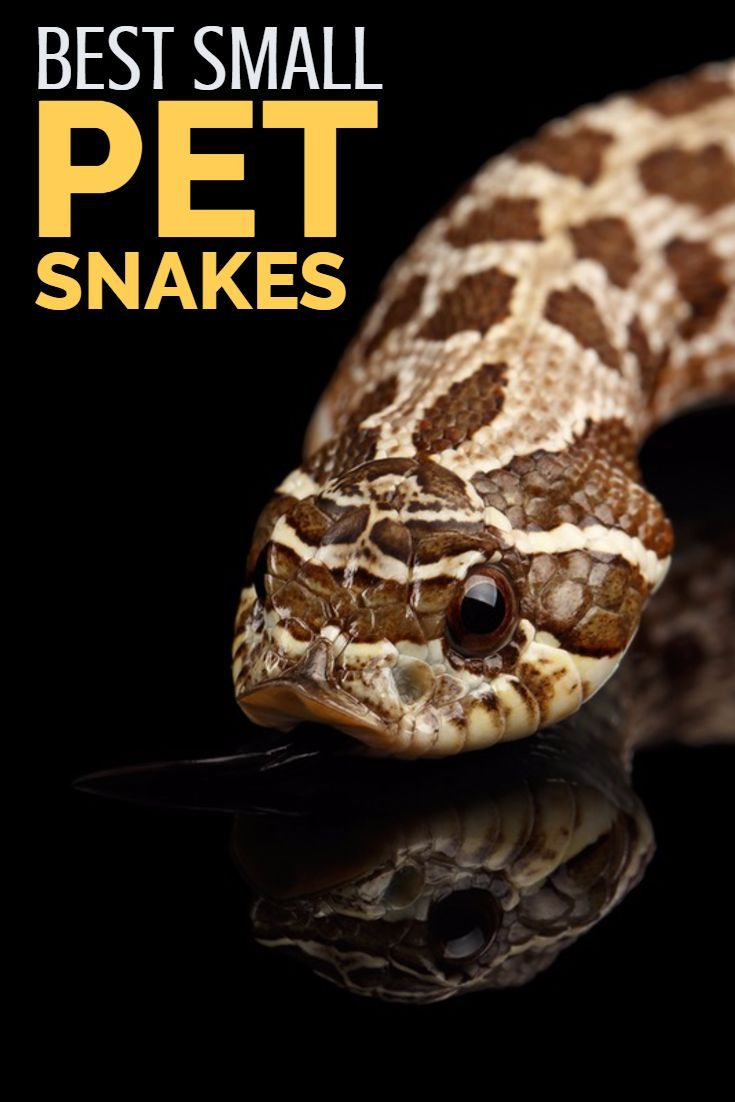 Looking For The Best Small Pet Snakes The Species Outlined In