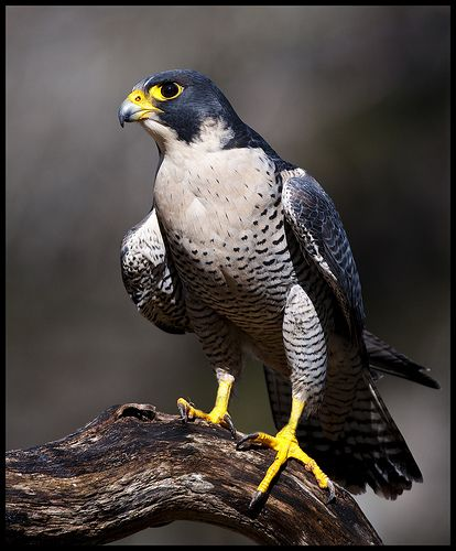 My favorite avian inspiration - Peregrine Falcon