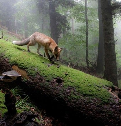 The Fox from the board Deep in the Forrest #1 by Lisa * Berry