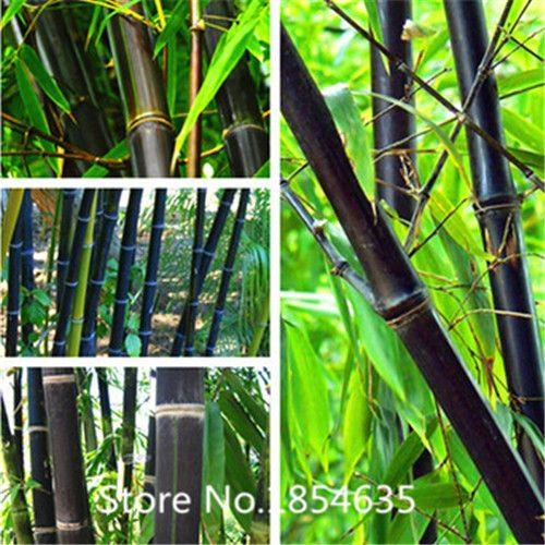 High quality fresh giant moso bamboo seeds, MOSO BAMBOO Tree seeds, 100 seeds/bag