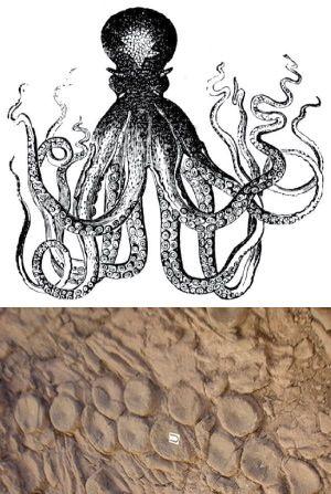 Pulpos gigantes podrían haber compuesto autorretratos hace 200 millones de años