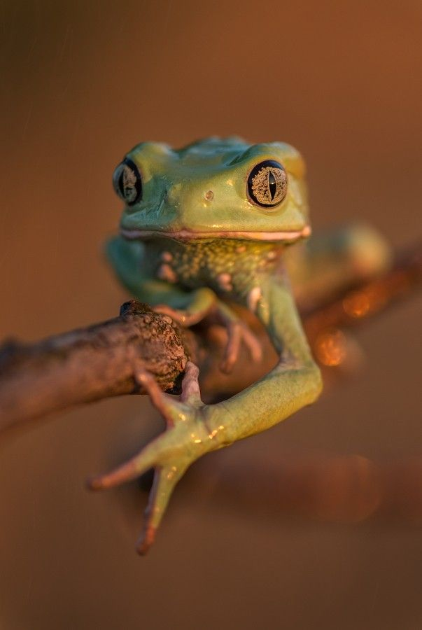 Waxy Monkey Frog.