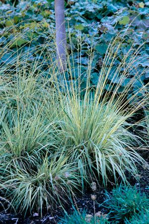 Molinia caerulea 39 variegata 39 variegated purple moor grass for Variegated ornamental grass
