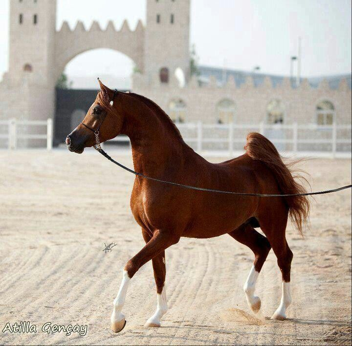 """Chestnut Arabian stallion Bashir Al Shaqab by bobbie. """"I'd love to talk to you, but right now I'm busy being fabulous."""""""