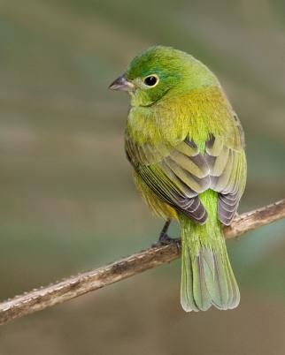 Painted Bunting female. Saw one of these recently in my backyard!