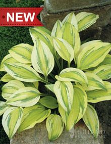 "Captains Adventure Hosta  Height: 	16-18""  Bulb Size: 	No 1  Naturalizing: 	Yes  Perennializing: 	Yes  Grow In Containers: 	Yes  Hardiness Zone: 	3 - 8  Suitable Zone: 	3 - 9  Planting Time: 	Spring  Planting Depths: 	1-2""  Planting Spacing: 	32-36"""