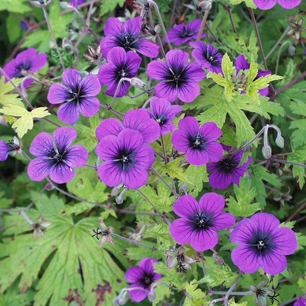 Geranium Ann Folkard A wonderful ground-covering perennial