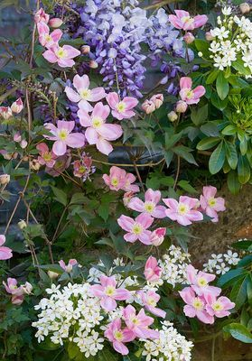 clematis montana 'rubens', and wisteria  and mexican orange blossom