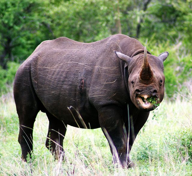 Another rhinoceros subspecies gone forever: The IUCN has confirmed that the Western black rhino (Diceros bicornis longipes) is indeed extinct. Now, a permit to hunt a black rhino in Namibia sold for $350,000 at an auction in Dallas with proceeds going to protect the endangered animals (isn't that bizarre?). Protesters from animal rights groups say the sale is immoral conservation (but there isn't any value in morality among Libertarians, is there? It's about SELF.)