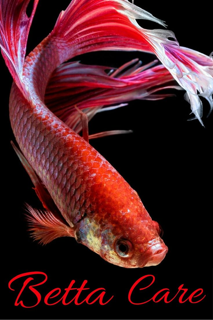 Betta fish care fish care and betta fish on pinterest for How to care for betta fish