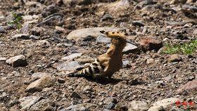 Birds (Avis) ჩიტები: ოფოფი - Hoopoe (Upupa epops)