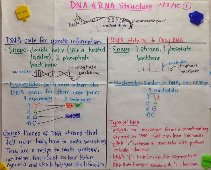 Mrs. Paul - Biology: DNA & RNA Structure GLAD Anchor Charts Notes