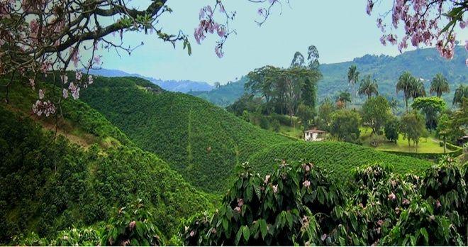 Coffee Plantations, Risaralda, Colombia