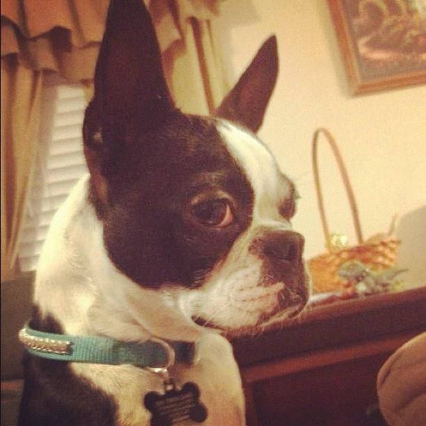 Cutie  #buffy  #cute  #bostonterrier  #baby  #boston #terrier #photo