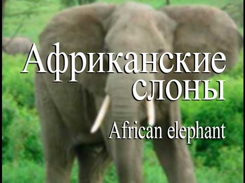 Африканский слон — African elephant