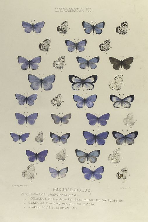 Free printable collection of antique butterfly prints.  From the New York Public Library Digital Gallery