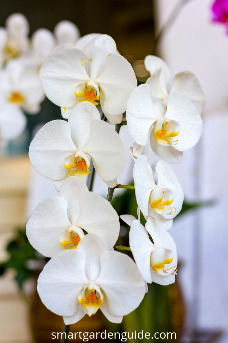 Phalaenopsis Orchid Care For Beginners Easy Guide Phalaenopsis