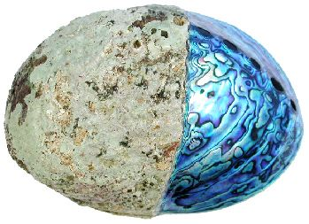 'The Sea Opal' (Haliotis iris) Paua Abalone shell