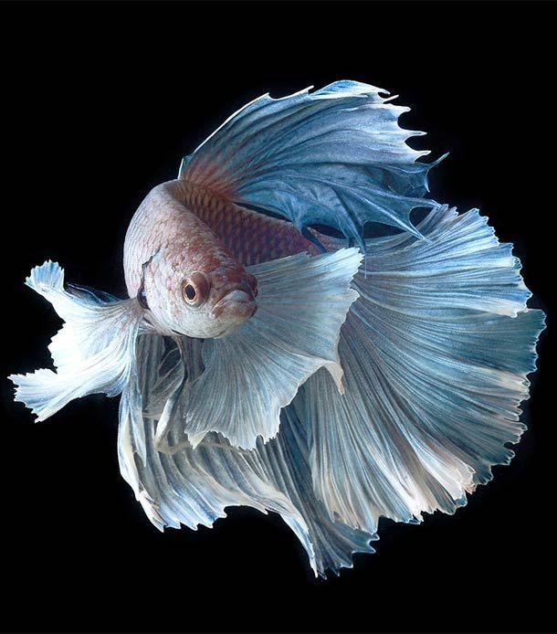 Combattants – De magnifiques portraits de poissons par le photographe thaïlandais Visarute Angkatavanich.