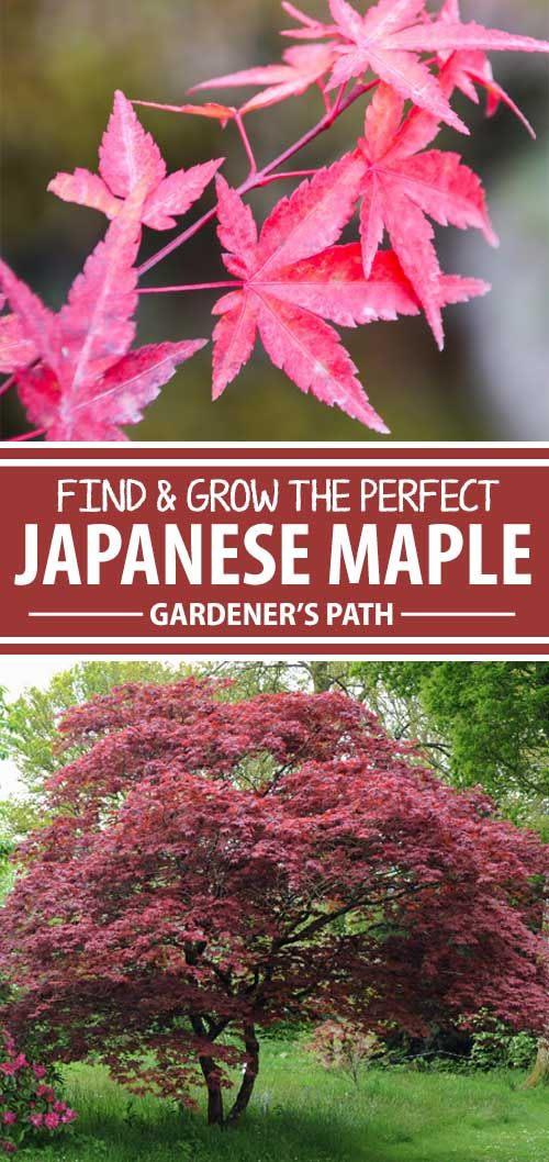Color, texture, balance, form, contrast – everything you could possibly want in a focal point for your landscape can be found in a Japanese maple. There are literally hundreds of cultivars to choose from so you're sure to find a perfect fit. Learn how to grow, care, and nurture them now on Gardener\'s Path.