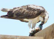 Fischadler: in den 80er Jahren fast ausgestorben, inzwischen wieder oft zu sehen.