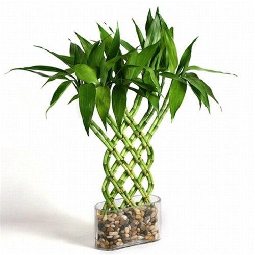 Best 25 Lucky Bamboo Plants Ideas On Pinterest Feng