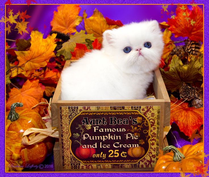 Persian kittens Blue Eyed White Persian Cats For Sale Himalayan Kittens For Sale Exotic kittens Furrbcats - Available Kittens